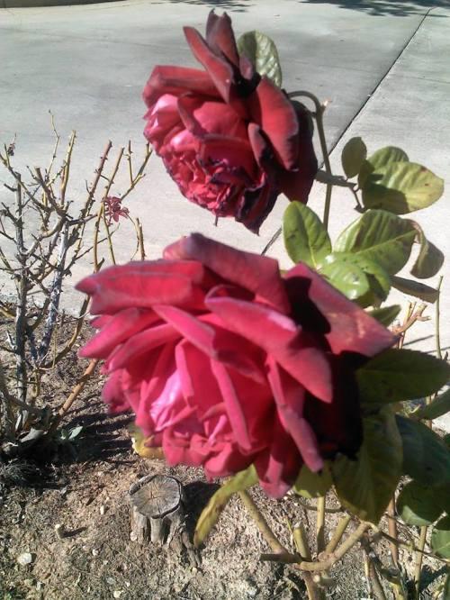 rosesinnovember2014
