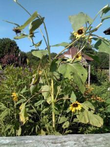 sunflowergarden2